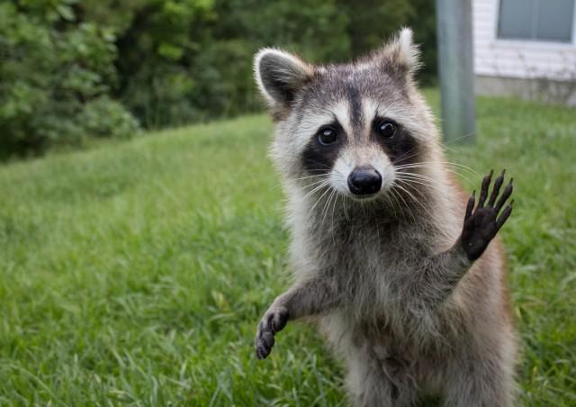 raccoon heeyyyy