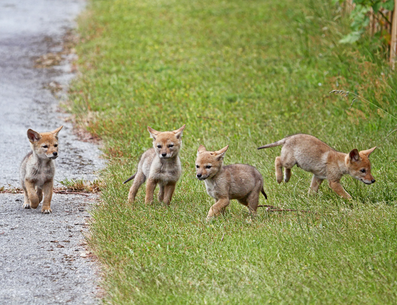 baby coyotes picture - 800×614