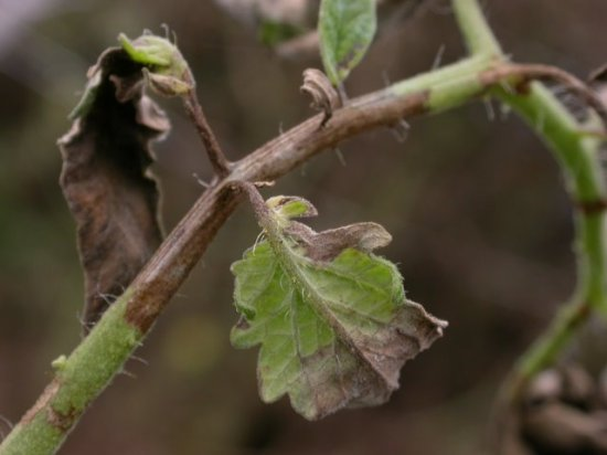 Late blight lesions on tomato stem, leaf, and petiole
