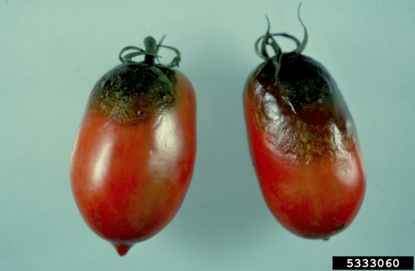 Roma tomatoes affected by late blight