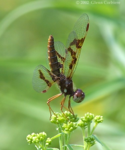 dragonfly - eastern amberiwing (Perithemis tenera)