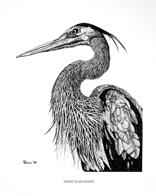 Great Blue Heron drawing