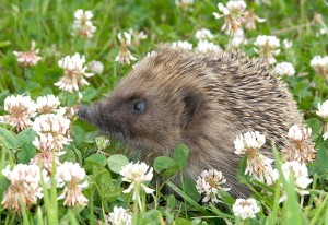 A hedgehog in a field