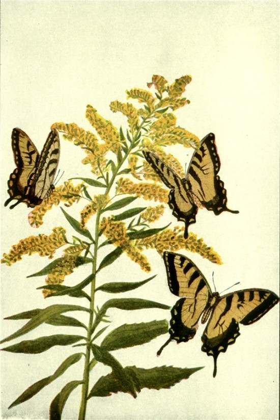 tiger swallowtails and goldenrod