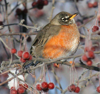 An adult female robin. Source.