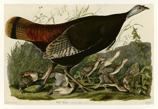 Wild Turkey by John James Audubon. Source.