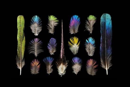 Feathers of the African starling, arranged by artist Chris Maynard.