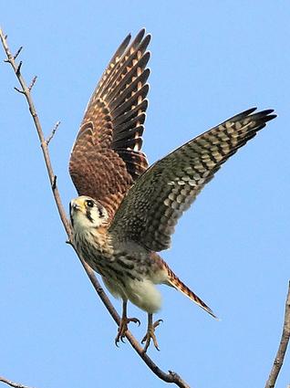 American Kestrel: adult female taking flight. © William Jobes, PA, September 2008