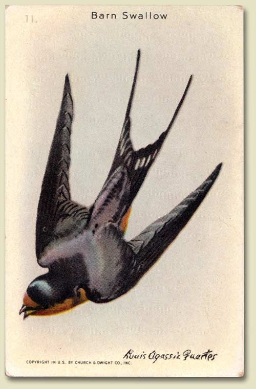 "Barn Swallow from The Arm & Hammer and Cow Brand Baking Soda ""Useful Birds of America."""