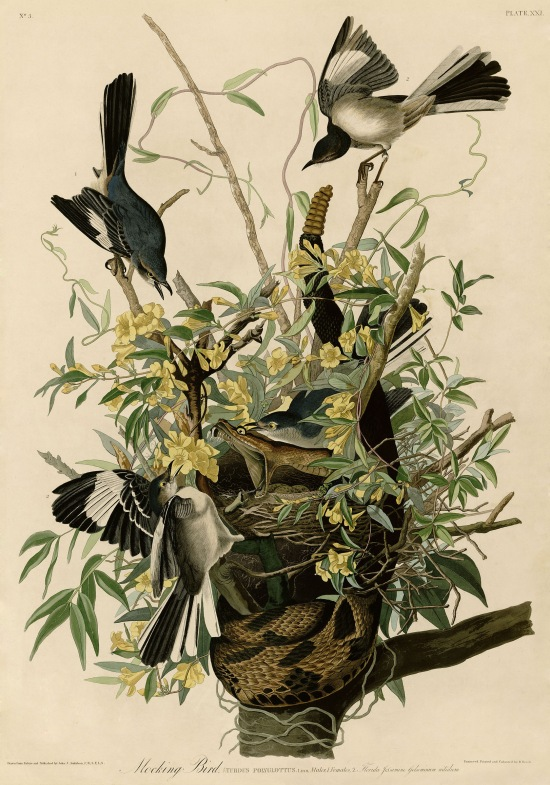 Plate 21 of Birds of America by John James Audubon depicting Mocking Bird.