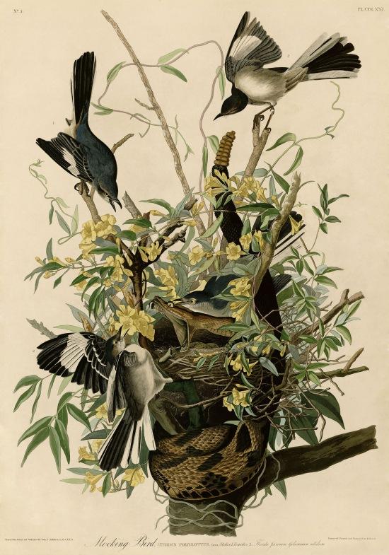 Plate 21 of Birds of America by John James Audubon depicting Mocking Bird.