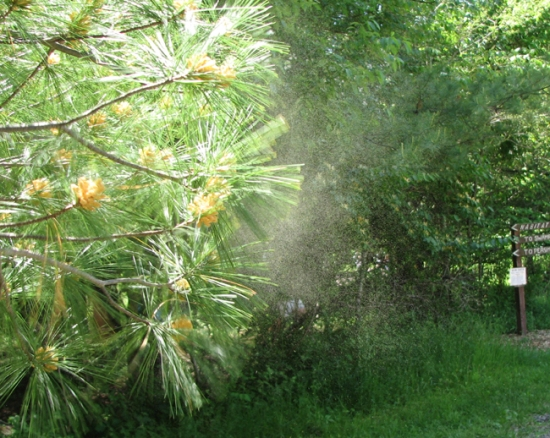 A pine letting loose its pollen.