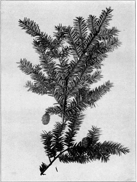 Eastern Hemlock (Tsuga canadensis), as illustrated in Trees of Indiana, by Charles Clemon Deam.