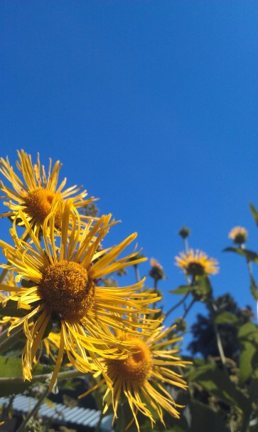 One of the many Elecampane (Inula helenium) plants that I started from seed last year, now blooming in Boston.
