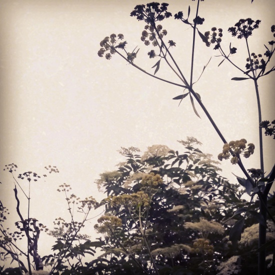 The lovage and elder umbels in my victory garden.